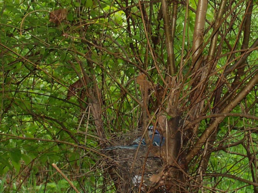 Bluejay roosting in nest